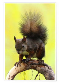 Premium poster  Squirrel on a branch - Uwe Fuchs