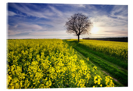 Acrylic print  Rapsfeld in the spring, Germany - Dennis Fischer