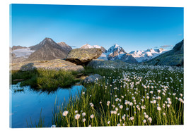 Acrylic print  Blooming of cotton grass at feet of Piz Bernina, Switzerland - Roberto Sysa Moiola
