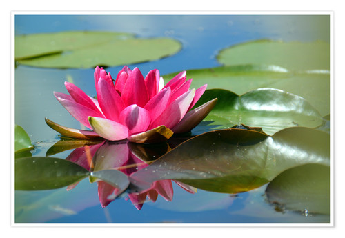 Premium poster Water lily with reflection