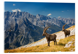 Acrylic print  Two Alpine Ibex in front of Mount Watzmann - Dieter Meyrl
