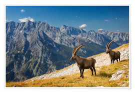 Premium poster Two Alpine Ibex in front of Mount Watzmann