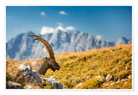 Premium poster Alpine Ibex in front of Mount Watzmann