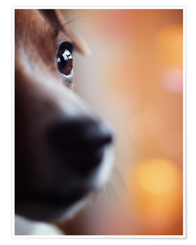 Premium poster PERSPECTIVE - Jack Russel eye