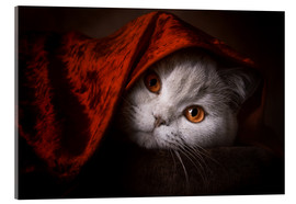 Acrylic print  Little Red Riding Hood? British short-haired cat under red blanket - Janina Bürger