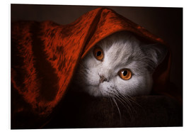 Foam board print  Little Red Riding Hood? British short-haired cat under red blanket - Janina Bürger