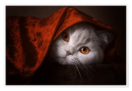 Premium poster Little Red Riding Hood? British short-haired cat under red blanket