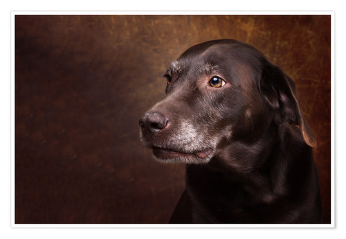 Premium poster Old Chocolate Labrador Portrait
