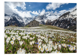 Forex  Crocus flowers, Malenco Valley, Italy - Roberto Sysa Moiola