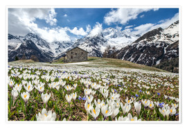 Premium poster Crocus flowers, Malenco Valley, Italy