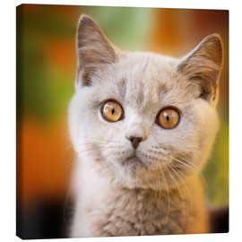 Canvas print  British shorthair kitten portrait - Janina Bürger