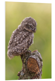 Foam board print  Young Black Owl - Friedhelm Peters