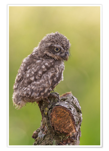Premium poster Young Black Owl