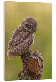 Wood print  Young Black Owl - Friedhelm Peters
