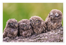 Premium poster 4 little owls
