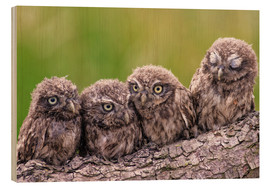 Wood print  4 little owls - Friedhelm Peters