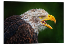 Aluminium print  Portrait of bald eagle - Friedhelm Peters