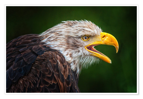 Premium poster Portrait of bald eagle