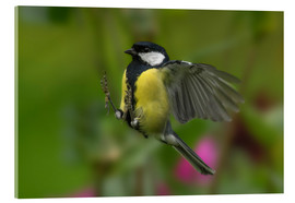 Acrylic print  Great Tit in landing approach - Friedhelm Peters
