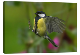 Canvas print  Great Tit in landing approach - Friedhelm Peters