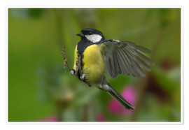 Premium poster Great Tit in landing approach