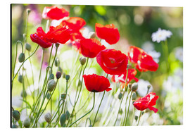 Aluminium print  Red poppies on a sunny day