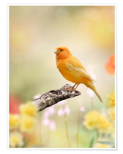 Premium poster yellow canary