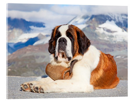 Acrylic print  Saint Bernard rescue dog