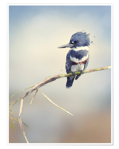 Premium poster Digital Painting Of Belted Kingfisher
