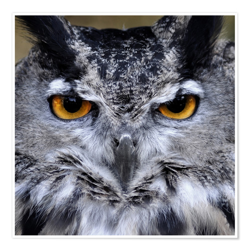 Premium poster Great Horned Owl