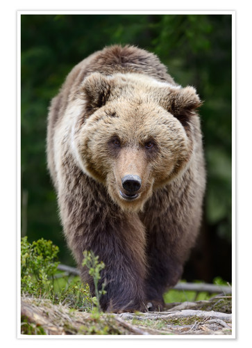 Premium poster Brown bear in focus