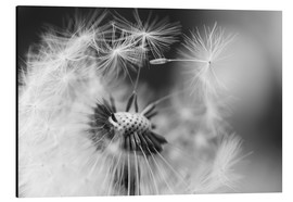 Alu-Dibond  Flying seeds of the dandelion - Julia Delgado