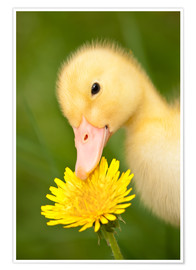 Poster  Duckling with dandelion