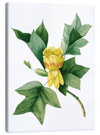 Canvas print  tulip tree - Pierre Joseph Redouté