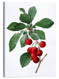 Canvas print  cherry - Pierre Joseph Redouté
