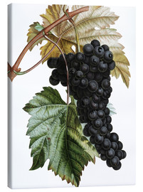 Canvas print  Grape Muscat Noir - Pierre Joseph Redouté