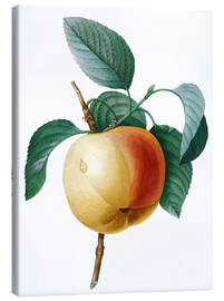 Canvas print  calville blanc apple - Pierre Joseph Redouté