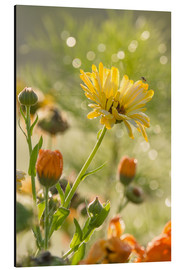 Aluminium print  Yellow and orange flowers in the morning - Edith Albuschat