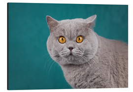 Aluminium print  Imposing British short-haired cat - Janina Bürger
