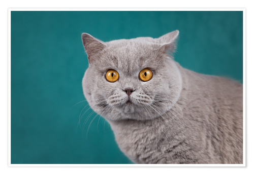 Poster Imposing British short-haired cat