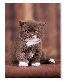 Poster Teddy - British shorthair catbaby