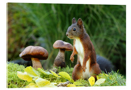 Acrylic print  Squirrel on fodder search - Uwe Fuchs
