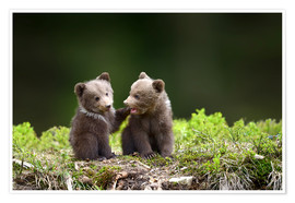 Two young brown bears