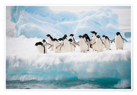 Premium poster Adelie penguins on ice