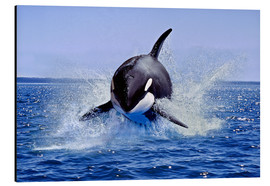 Aluminium print  Jump of the orca - Gérard Lacz