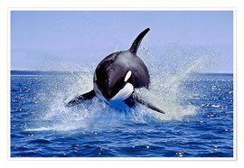 Premium poster  Jump of the orca - Gérard Lacz
