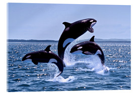 Acrylic glass  Jumping killer whales - Gérard Lacz