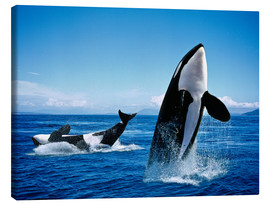 Canvas print  Performance of the killer whales - Gérard Lacz