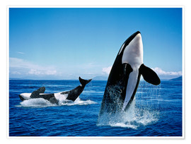 Premium poster  Performance of the killer whales - Gérard Lacz