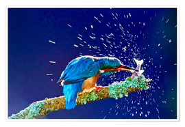 Premium poster  Common Kingfisher stunning fish against branch - FLPA